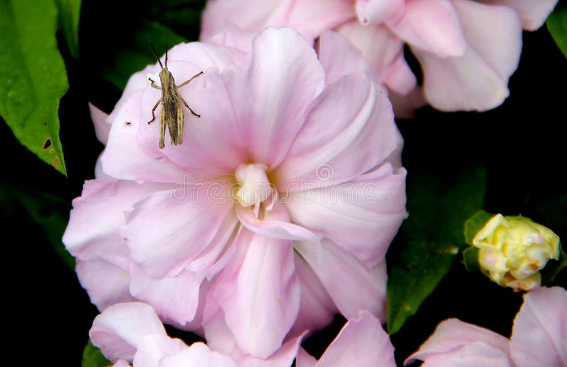 Wonderful macro of the grasshopper sitting on the pale pink flower stock photography