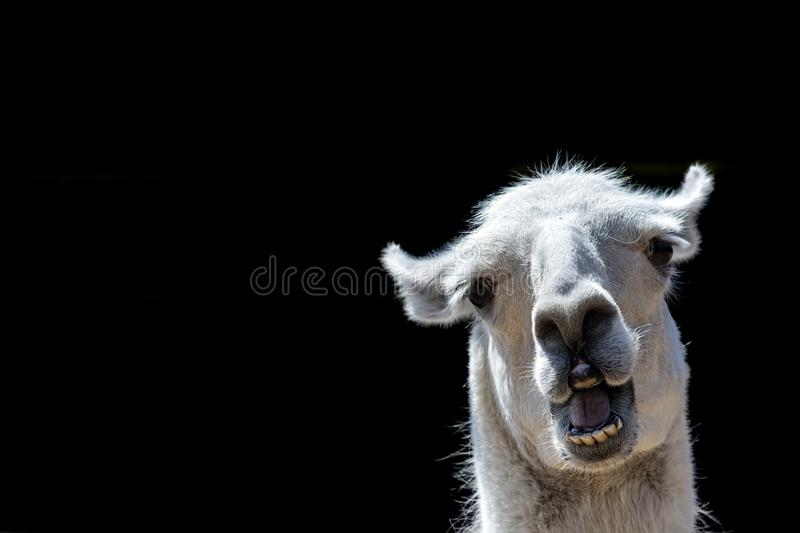 Stupid looking animal. Goofy llama. Funny meme image with copy-space. Dumb animal with silly expression isolated against black background for customised royalty free stock images