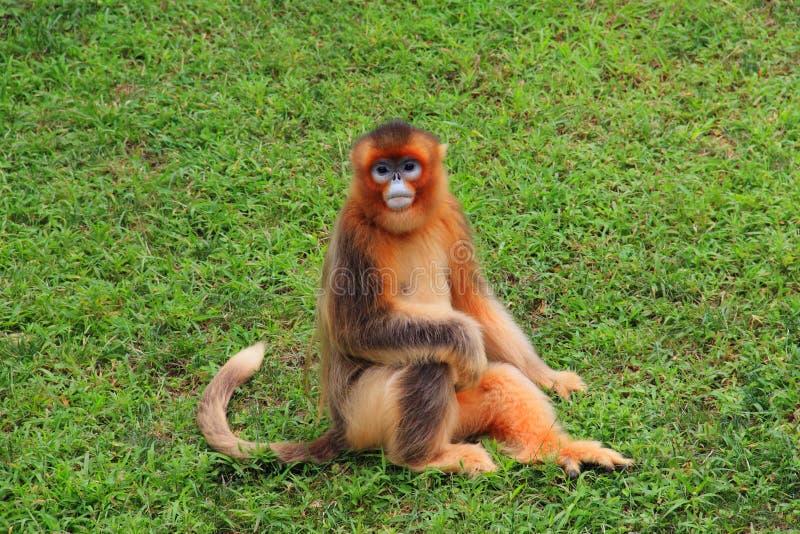 Stupsnasiger Affe (goldener Affe) stockbilder