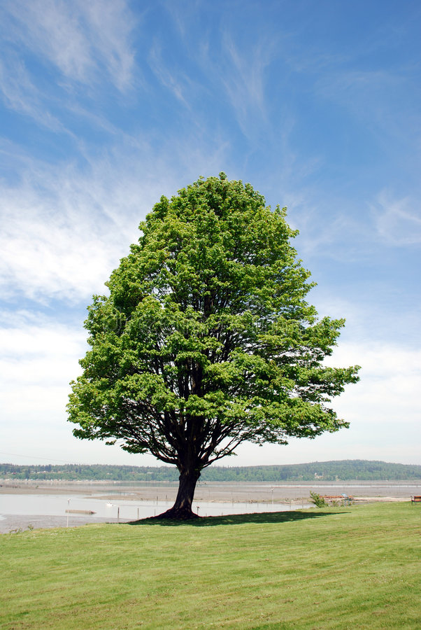 Download Sturdy Tree stock image. Image of leaf, majestic, branches - 5624981