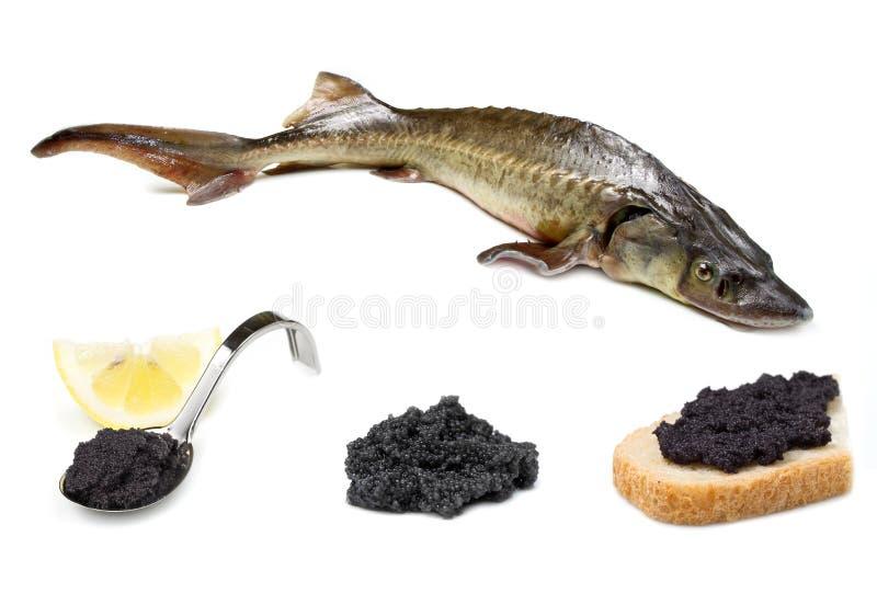 Sturgeon. Fish isolated on white royalty free stock image