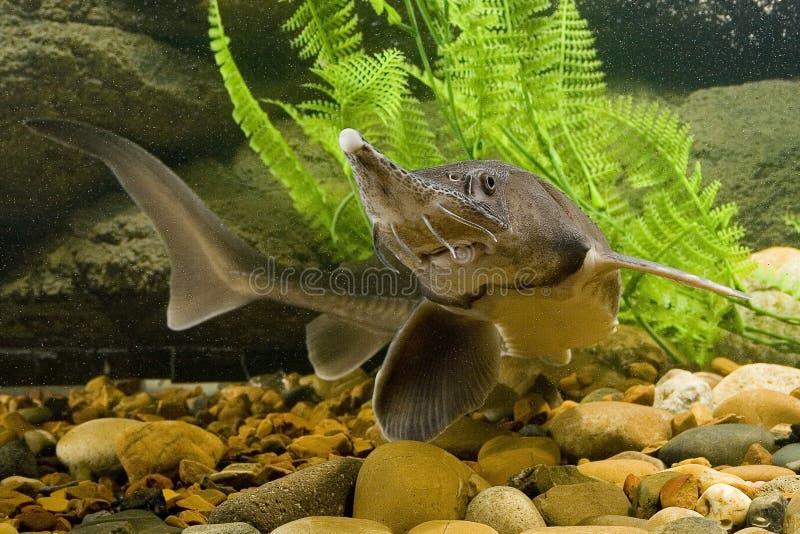 Sturgeon. Fish in the aquarium stock photos
