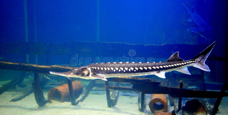 Sturgeon fish. Swimming in a fish tank stock photography