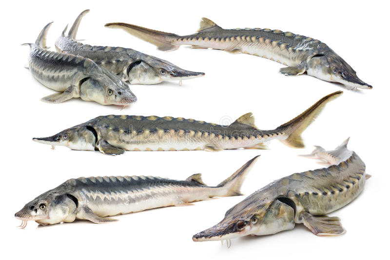 Sturgeon fish collage. Fresh sturgeon fish isolated on white background stock photography