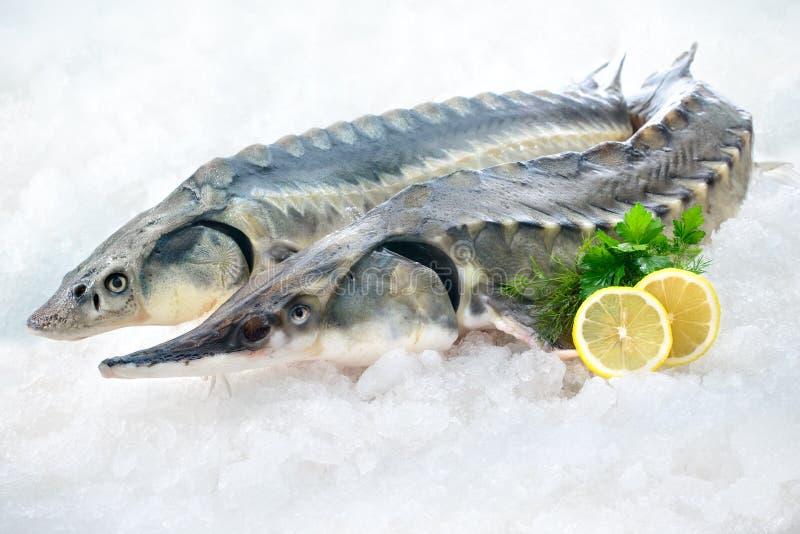 Sturgeon fish. Fresh sturgeon fish on ice with lemon and parsley stock image