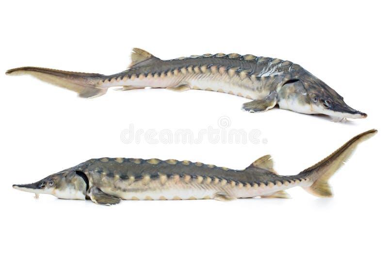 Sturgeon fish. Fresh sturgeon fish isolated on white background royalty free stock images