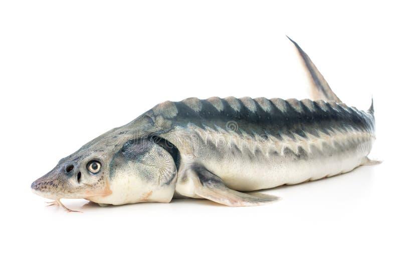 Sturgeon fish. Fresh sturgeon fish isolated on white background stock photo