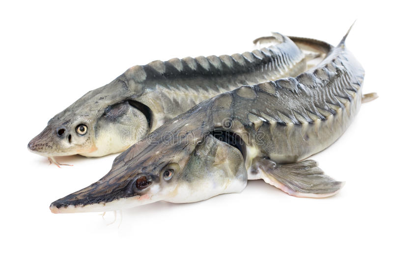 Sturgeon fish. Fresh sturgeon fish isolated on white background royalty free stock photography