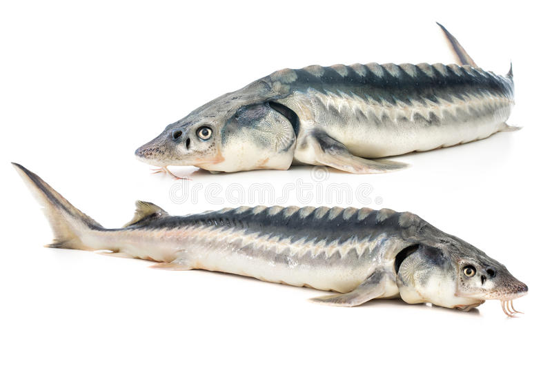 Sturgeon fish. Fresh sturgeon fish isolated on white background stock image