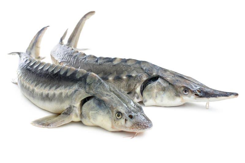 Sturgeon fish royalty free stock image