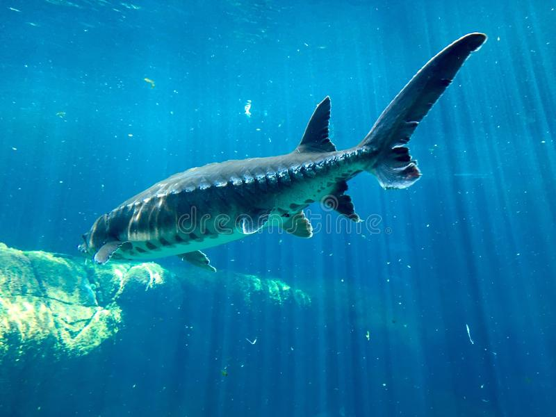 Sturgeon. Swimming in the water royalty free stock photo