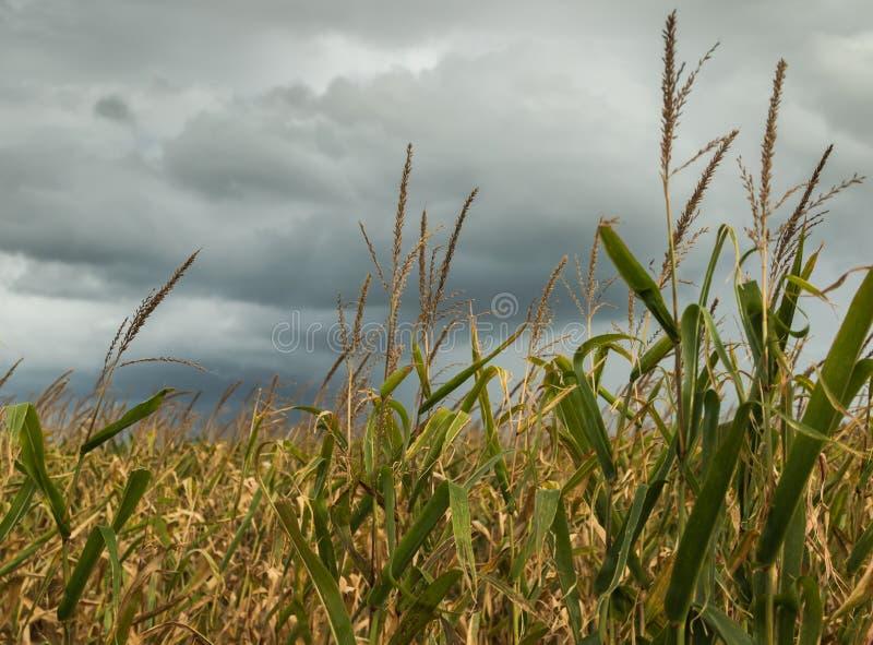 Sturm auf dem Maisgebiet lizenzfreie stockfotografie