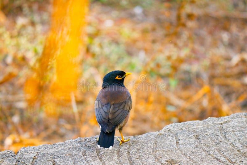 Sturnidaefågelfotografi Natur Svarta färger för gul brunt royaltyfri foto