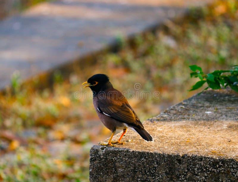 Sturnidaefågelfotografi Svart guling- och bruntfärg Natur Vagga Vinter royaltyfria foton