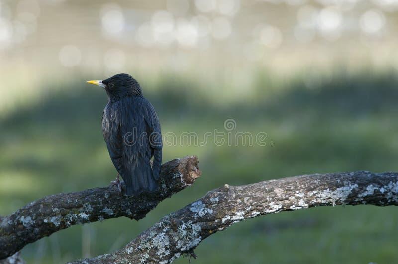 Sturnus dello storno nero monocolore fotografia stock libera da diritti