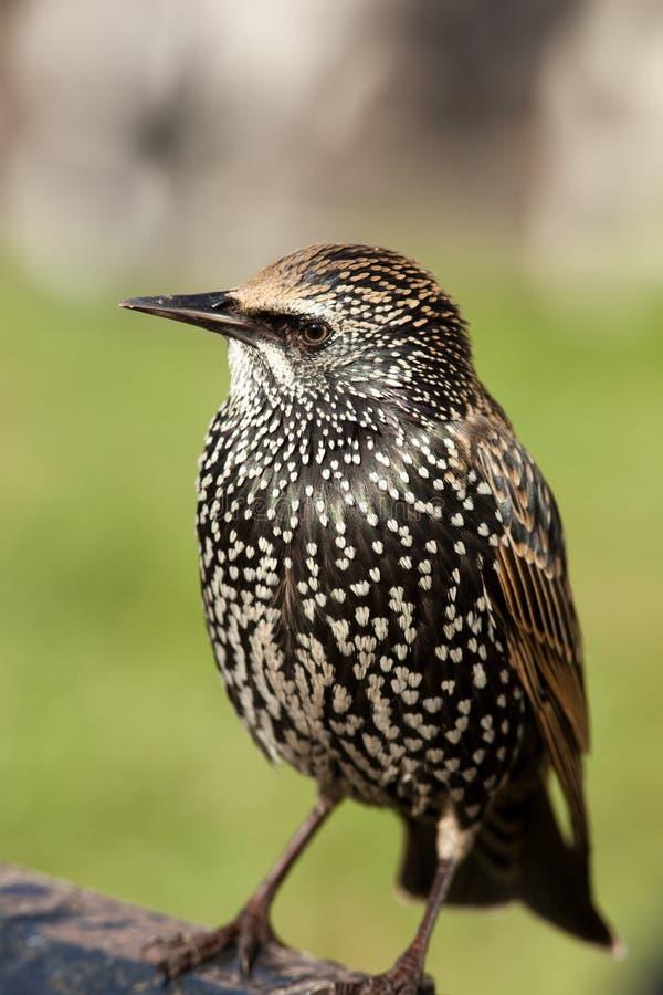 sturnus starling comune vulgaris immagine stock libera da diritti