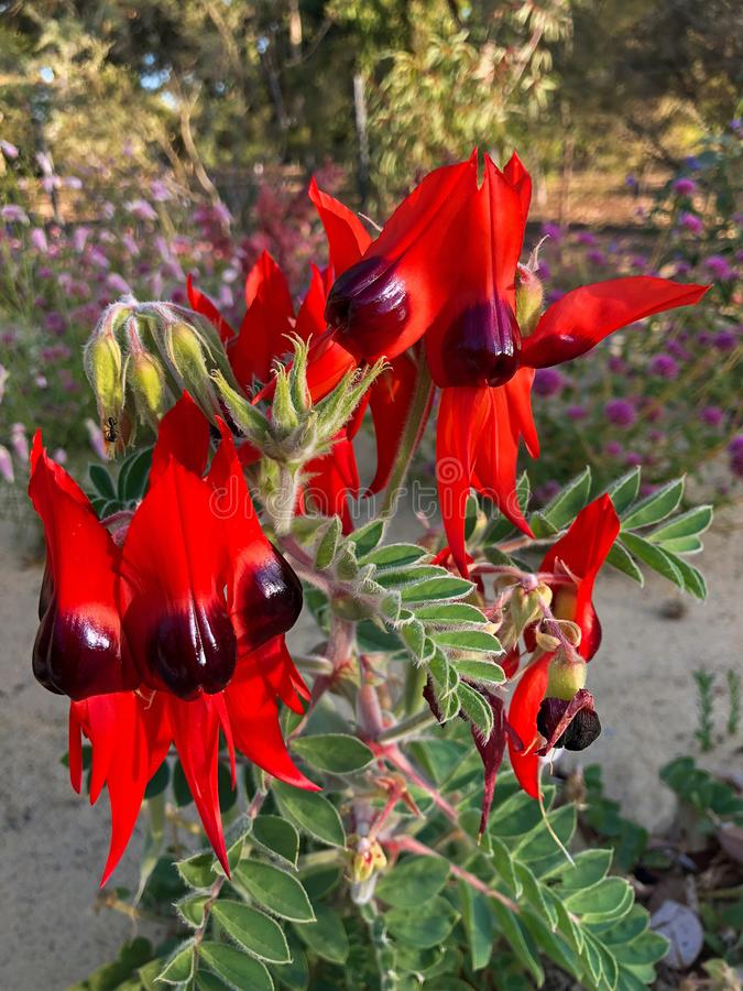 Sturt ` s在blood red,澳大利亚野花p的沙漠豆花 免版税库存照片