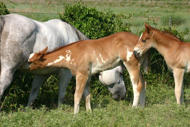 Stute und Fohlen stockbilder