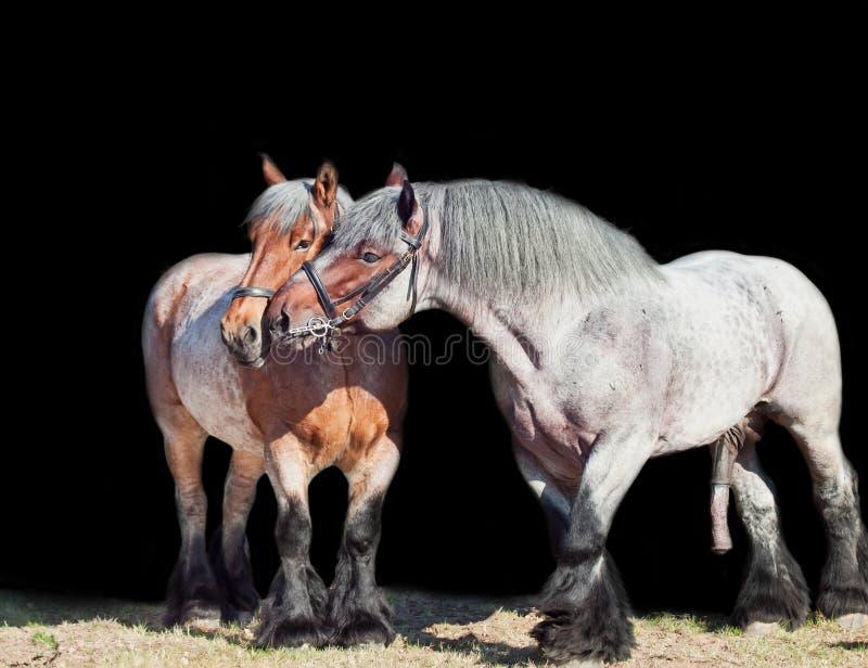 Stute und Hengst von Brabant-Zucht lokalisiert am Schwarzen stockfotografie