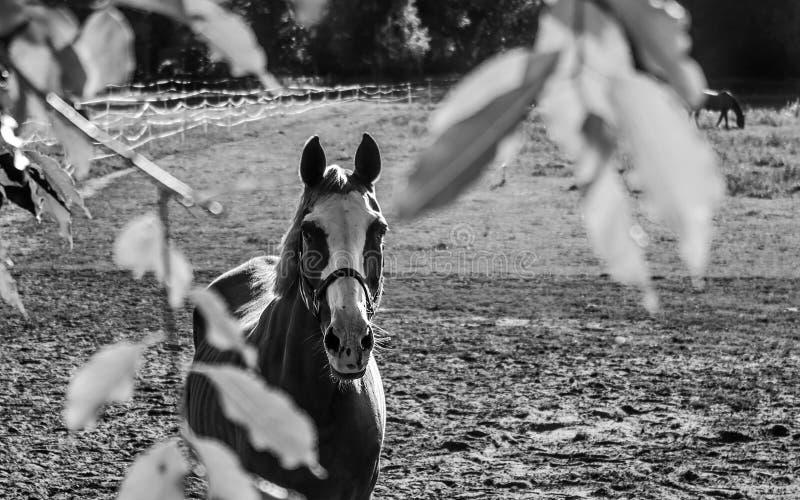 Stutenpferd mit einem Zaum auf der Koppel, welche die Kamera betrachtet stockfotos