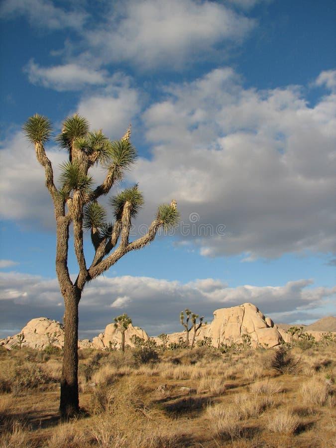 Download Stuuning Otherworldly Joshua Tree 6 Stock Photo - Image: 7243044