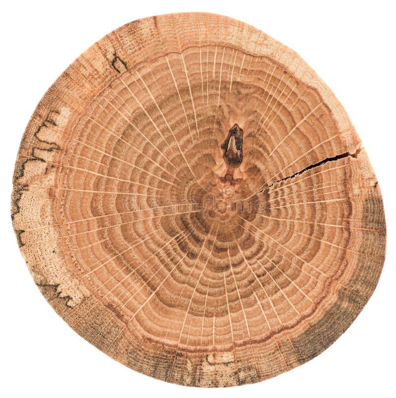 Stycke av den runda trästubben med sprickor och årliga cirklar Ektjock skivatextur som isoleras på vit bakgrund royaltyfria bilder