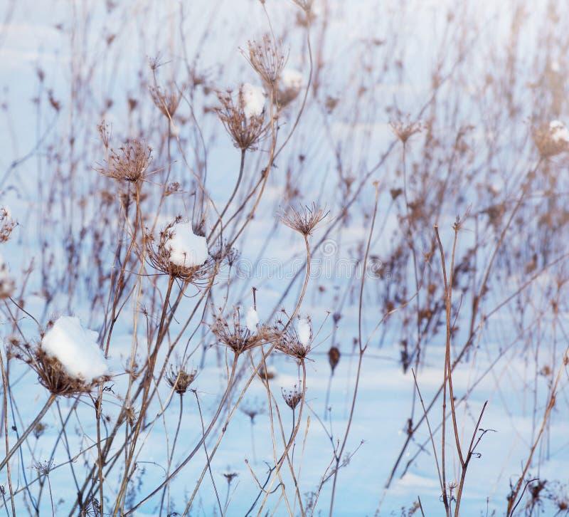 Styczeń 33c krajobrazu Rosji zima ural temperatury Suszy rośliny w śniegu w zimie obraz stock