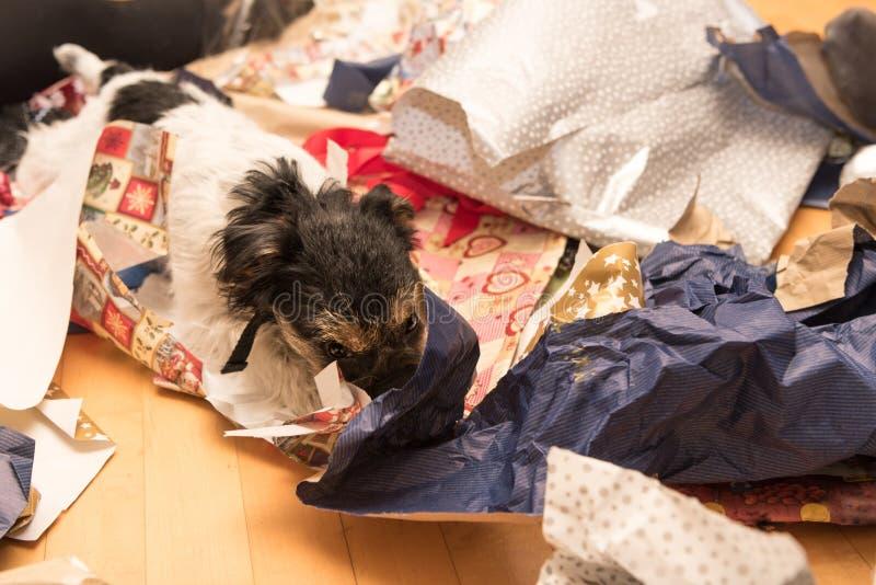 Stygg julJack Russell Terrier hund royaltyfri bild
