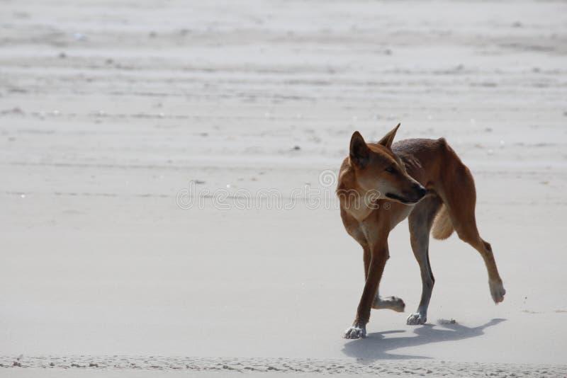 Style de dingo image libre de droits