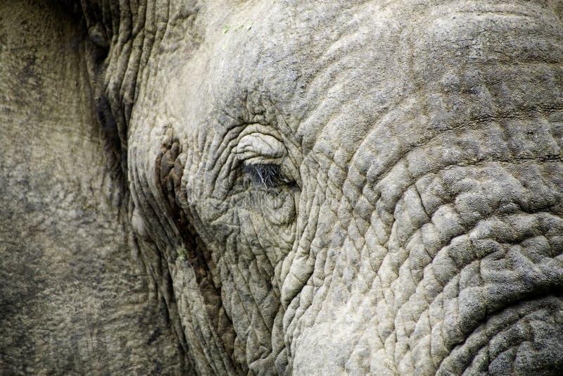Style de vie d'éléphant en Afrique du Sud photographie stock