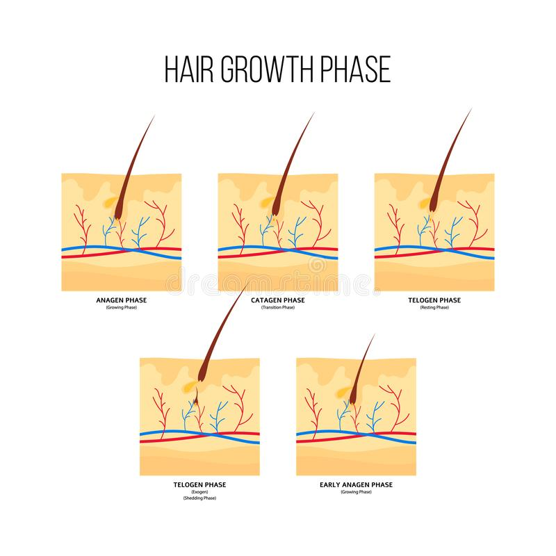 Style plat de plan de phase de croissance de cheveux illustration libre de droits