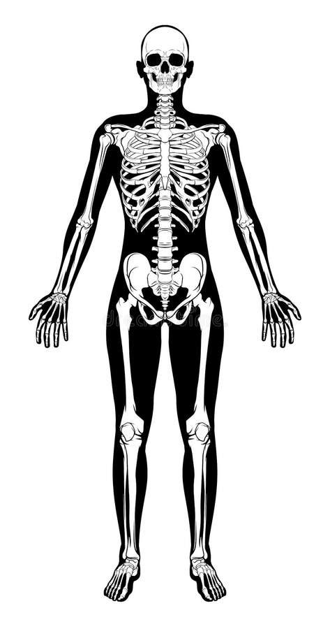 Human Skeleton Figure Medical Silhouette stock illustration