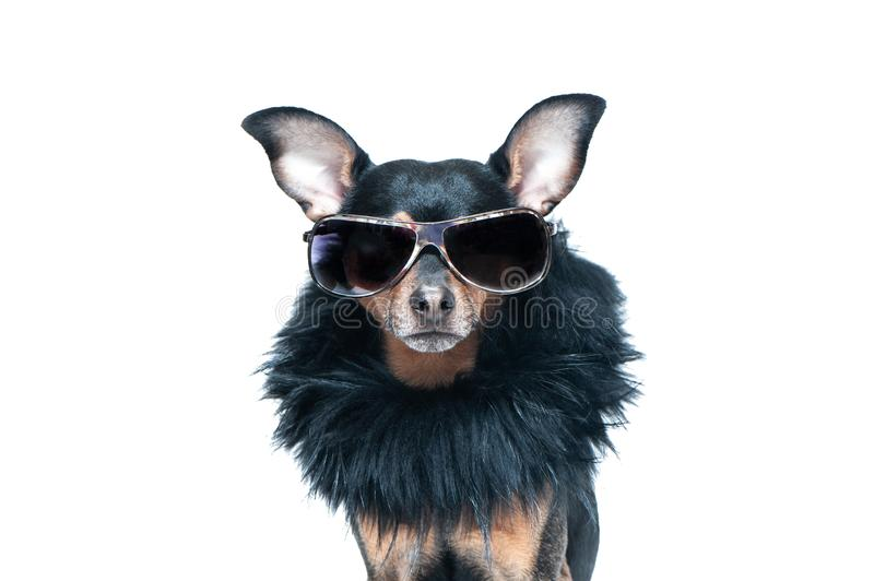 Stylish, chic dog isolated , diva in a fur coat stock photography