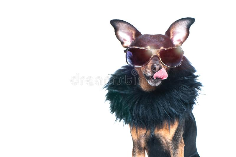 Stylish, chic dog isolated , diva in a fur coat stock photo