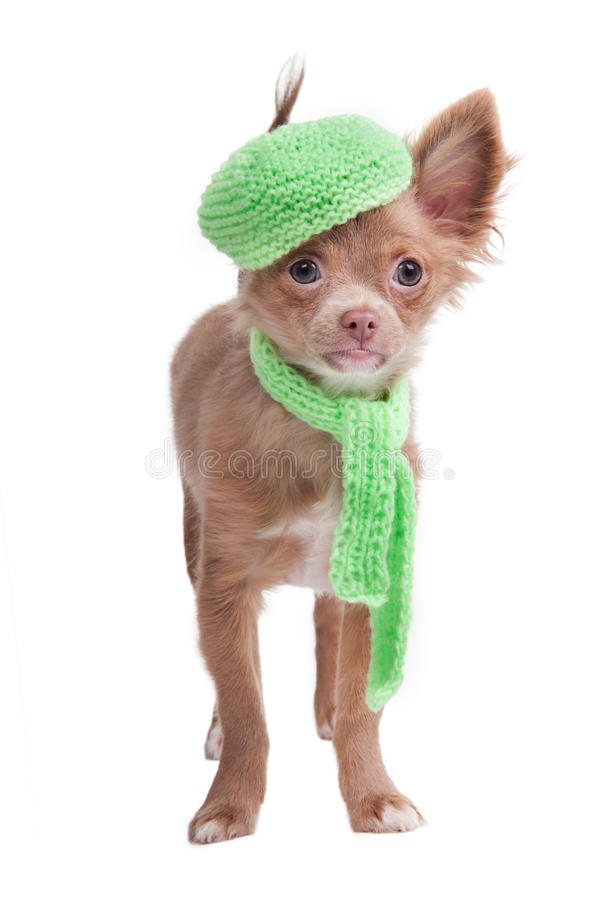 Stylish chihuahua puppy with cap and scarf. Chihuahua puppy with french cap and scarf royalty free stock photography