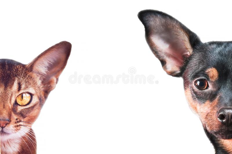 Stylish dog and cat portraits isolated on white, background, space for text,  Abyssinian cat  and toy terryer stock photos