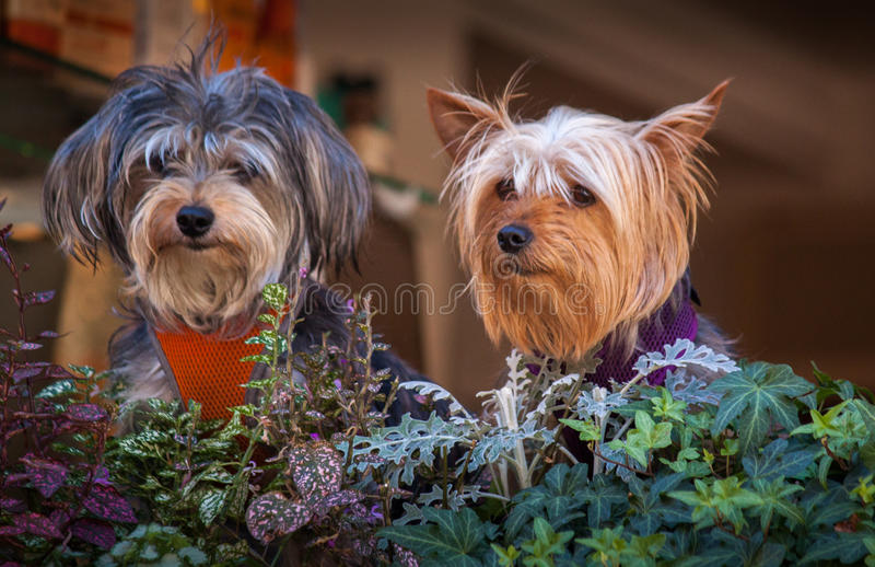 Stylish dogs peering out stock photo