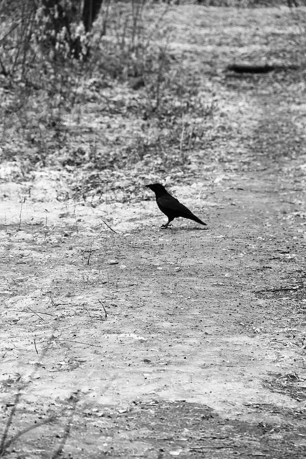 Stylish gothic black and white photo: a crow on a path covered with snow and dry leaves, in park. stock images