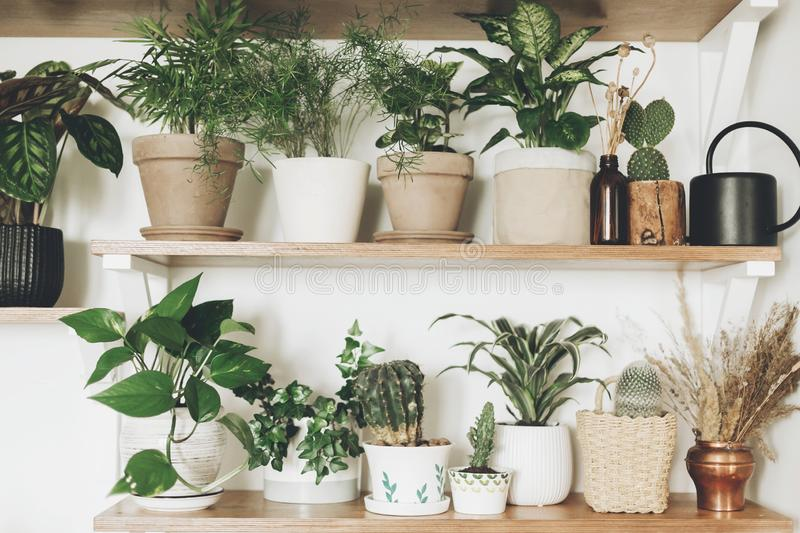 Stylish green plants and black watering can on  wooden shelves. Modern hipster room decor. Cactus, pothos, asparagus, calathea, royalty free stock images