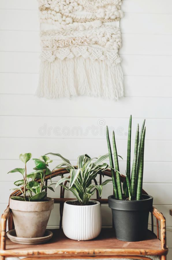 Stylish green plants in pots on wooden vintage stand on background of white rustic wall with embroidery hanging. Peperomia, stock photo