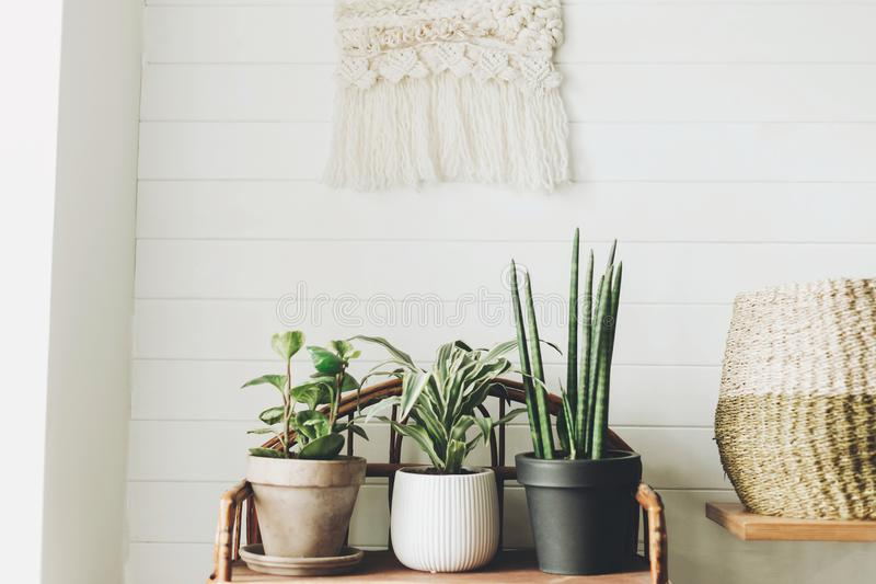 Stylish green plants in pots on wooden vintage stand on background of white rustic wall with embroidery hanging. Peperomia, stock photos