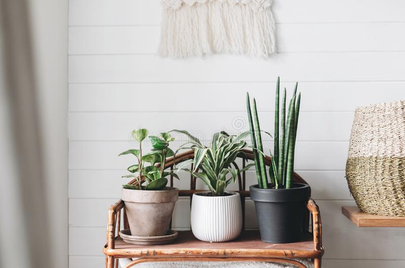 Stylish green plants in pots on wooden vintage stand on background of white rustic wall with embroidery hanging. Peperomia, royalty free stock photography