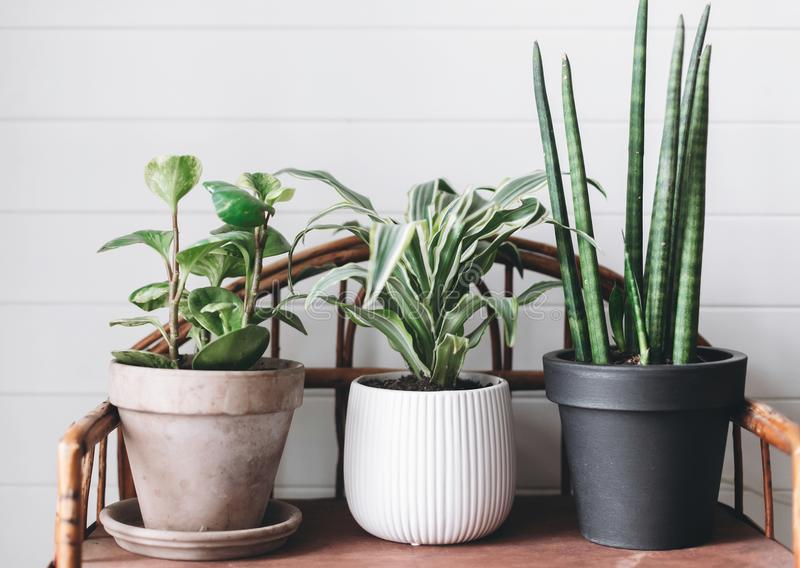 Stylish green plants in pots on wooden vintage stand on background of white rustic wall. Modern room decor. Peperomia, sansevieria. Dracaena plants royalty free stock image