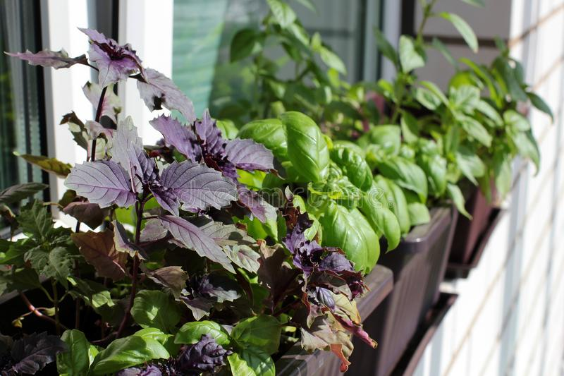 The stylish interior of home garden on the window sill. Fresh herbs on the window sill: multicolored basil stock images