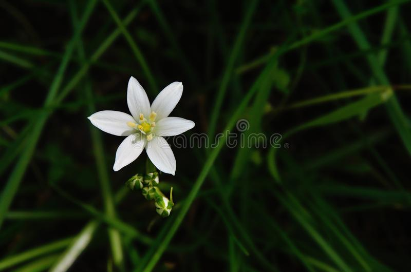 Stylish white flower of lily at dark background stock photography