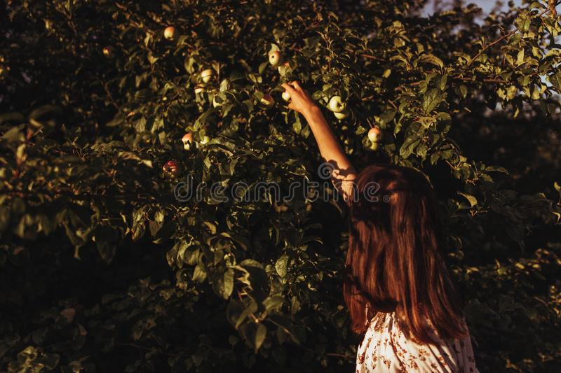 Stylish woman picking up apples from tree in sunlight in summer stock photo