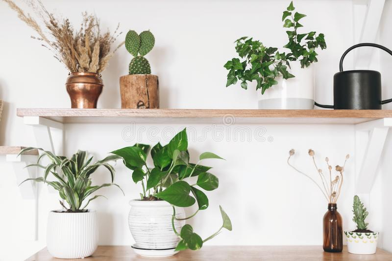 Stylish wooden shelves with green plants, black watering can, boho wildflowers. Modern hipster room decor. Cactus, epipremnum royalty free stock image