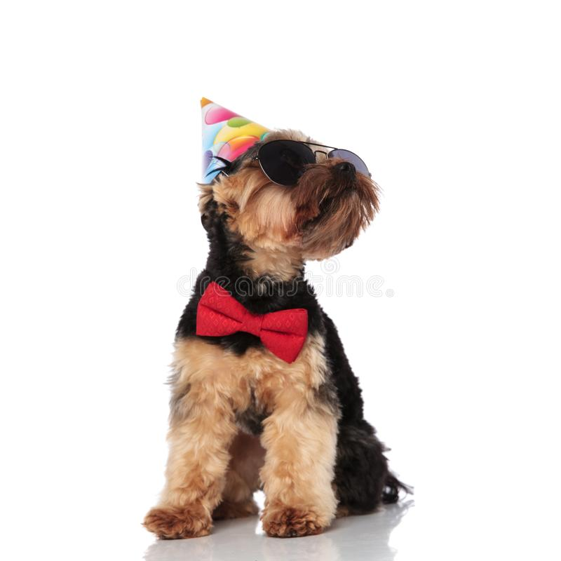 Stylish yorkshire terrier wearing birthday hat looks up to side. Stylish yorkshire terrier wearing birthday hat and sunglasses looks up to side royalty free stock photos