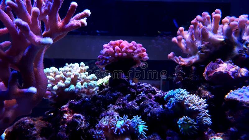 Stylophora Überziehschutzanlagen-Koralle im Riffaquariumbehälter stockbilder
