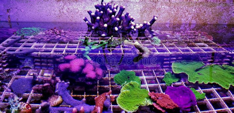 Stylophora-pistillata, alias milchige Stylophora Überziehschutzanlagen-Koralle lizenzfreies stockbild